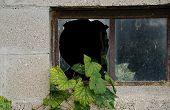 grape ivy in broken window