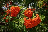 The rowan twig with ripe red berries on a tree