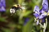 stock photo of bumble bee  - a bumble bee approaching a blue flower - JPG