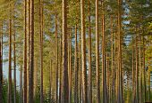 pic of backwoods  - Pine wood in Finland - JPG