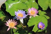pink and violet lotus
