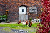 Poultry in the backyard on farm
