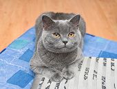 Cat Breed Scottish Straight Lying On The Pillow