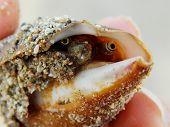 eyed clam