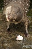 Close-up Of Asian Short-clawed Otter Shaking Itself