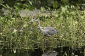 pic of bluegill  - A Great Blue Heron fishing for some food