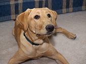 Labrador Retriever 2