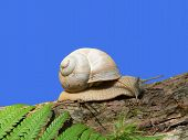 Grapevine Snail, Crawling On A Tree Trunk, Fern Leave, Against Blue Sky