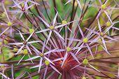 Macro Of Allium Cristophii