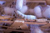 silk worm