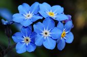 Forget Me Not Close
