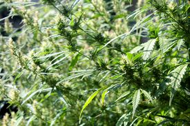 picture of psychodelic  - The green cannabis plant in the garden - JPG