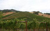 Maintained Vineyard