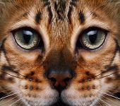 pic of bengal cat  - Bengal cat looking to the top - JPG