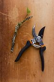 stock photo of prunes  - Pruning of trees and other plants with special gardening shears - JPG
