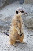 Curious meerkat stands on his hind legs and looks away