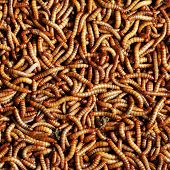 picture of larva  - many larvae of beetle background close up - JPG