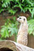 picture of meerkats  - Meerkat standing upright on a log to survey surrounding area - JPG