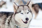 Beautiful Friendly Husky Dog