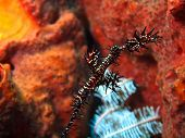 foto of seahorse  - The surprising underwater world of the Bali basin - JPG
