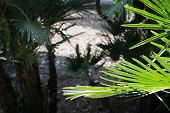 Fan Palm Chamaerops Humilis In Light And Shadow