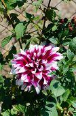 Flowering of the dahila in the flowerbed