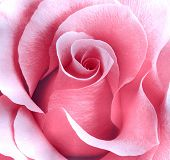 picture of pink rose  - A Beautiful and delicate pink rose macro - JPG
