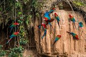 macaws in clay lick in the peruvian Amazon jungle at Madre de Dios Peru