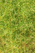 Dense Bamboo Foliage