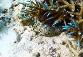 Spotted moray eel fish hiding in coral reef