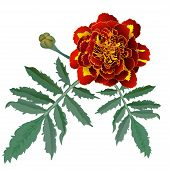 Realistic Illustration Of Red Marigold Flower (tagetes) Isolated On White Background