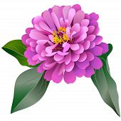 stock photo of zinnias  - Realistic Pink Zinnia Flower With Three Leaves - JPG