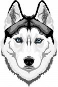 stock photo of sled-dog  - Vector head intelligent dog breed Siberian Husky - JPG
