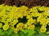 Yellow oxeye daisy flower garden
