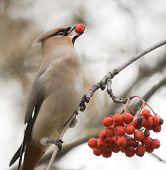 stock photo of ashes  - Waxwing with berry of mountain ash on branch - JPG