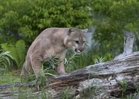 pic of cougar  - Adult male cougar walking along the top of a fallen tree - JPG