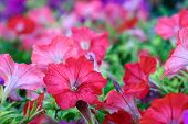 Flower Background. Petunias