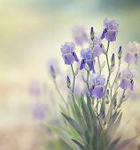 foto of purple iris  - Purple Iris Flowers Blooming In The Garden - JPG