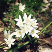 stock photo of humility  - Small white flowers in the valley near Tahtali mountain Turkey - JPG