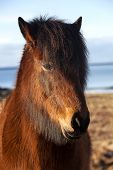 stock photo of pony  - Brown icelandic pony on a meadow in Iceland - JPG