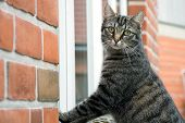foto of tabby cat  - Tabby cat standing outside at the window of a house of red bricks - JPG