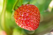 pic of strawberry plant  - Close up shot strawberry with planting strawberry background - JPG