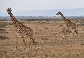 stock photo of mimicry  - herd of giraffes in the Masai Mara in Africa - JPG
