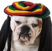 image of dreadlock  - funny dog with dreadlocks  - JPG