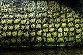 pic of crocodilian  - Skin texture - JPG