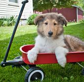 pic of collie  - Cute Collie puppy laying in a wagon sitting in the grass outside - JPG