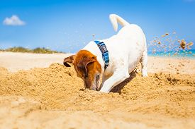 stock photo of toy dogs  - jack russell dog digging a hole in the sand at the beach on summer holiday vacation ocean shore behind - JPG