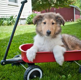 foto of wagon  - Cute Collie puppy laying in a wagon sitting in the grass outside - JPG