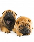 Two beautiful sharpei puppies