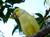 pic of ringneck  - a rare yellow ringneck parrot from australia - JPG